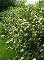Aronia prunifolia Viking Pot C3.5