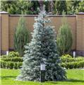 Picea pungens Super Blue 80 100 Pot C15