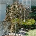 Salix Caprea Curly Locks Tige 120 cm Pot ** Forme originale **
