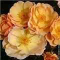 Rosier Amber Sun