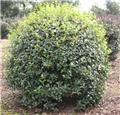 Osmanthus burkwoodii boule 80 85 cm