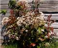 Photinia fraseri Red Robin 050 060 Pot C3