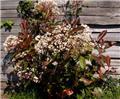 Photinia fraseri Red Robin 300 350 Pot C180-230 ** forte plante **