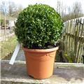 Euonymus japonica Green Spire Boule 35 40  Pot C10
