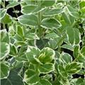 Euonymus fortunei Emerald Gaiety Pot C3