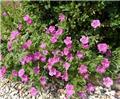 Geranium riversleaianum Russel Prichard  Pot 11