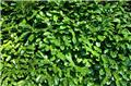 Prunus laur Rotundifolia 125 150 motte