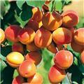 Abricotier Polonais Pot C10 Buisson **Autofertile- Résitant au froid **