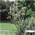 Amandier Prunus dulcis Buisson 125 150 Pot C5