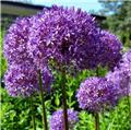 Allium Ambassador new * 1 pc cal.18/20