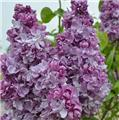 Syringa vulgaris Katherine Havemeyer C5L