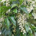 Prunus lusitanica Angustifolia 80 100 cm Pot