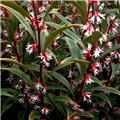 Sarcococca Winter Gem 20 30 cm Pot C2L