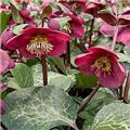 Helleborus Reanna´s Ruby Pot P15