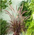 Pennisetum setaceum Summer Samba® P19
