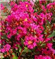 Lagerstroemia indica With Love Kiss 60 80 cm Pot C5