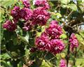 Clematis Vit. Purpurea Plena P16 - C2