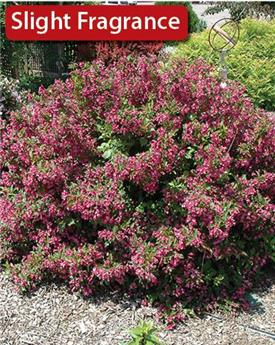Weigela florida Minuet Pot P19 - C3L **Nain**