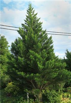 Sequoiadendron giganteum Greenpeace 125 150 Pot C18