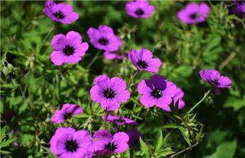 Geranium Patricia P13
