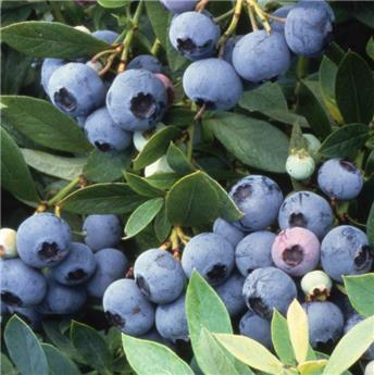 Vaccinium Hardy Blue Pot C5.5 - Myrtillier mi-tardive