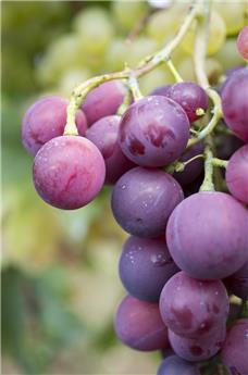 Vitis vinifera Cardinal Pot C5L