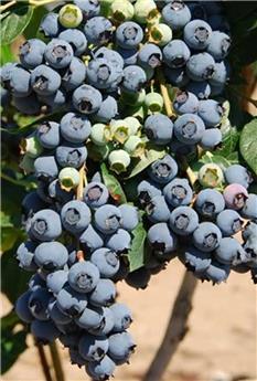 Vaccinium Blue Gold Pot C7 - Myrtillier mi-saison