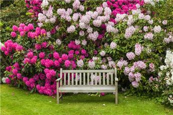 Rhododendron au printemps
