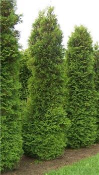 Thuja occ Brabant 350 400 Motte Grillagée ** Plante XXL **