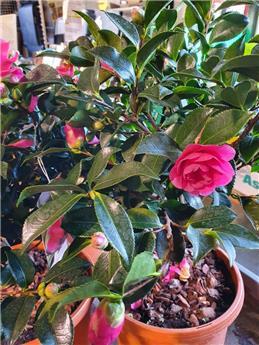 Camellia sasanqua Hiryu ** Floraison en automne **