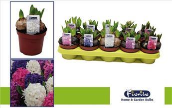 Hyacinthe varié Pot p12