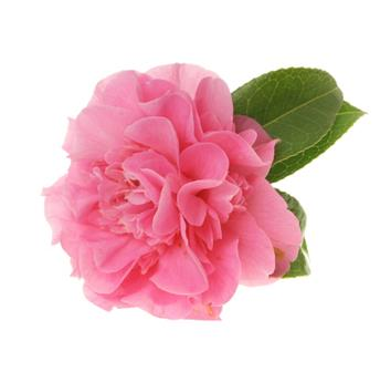 Camellia japonica Sweet Emily Kate Pot C5 ** 5 ans ***  Var. parfumée