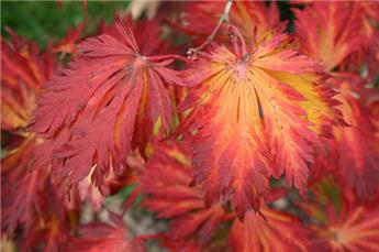 Acer japonicum Aconitifolium Pot C7.5L