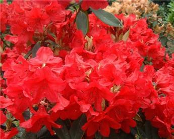 Rhododendron Vulcans Flame 50 60 XXL Pot