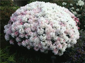 Rhododendron Yakushimanum Porzellan 30 35 Pot C4