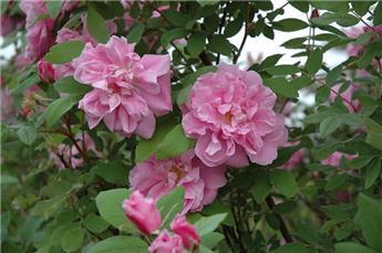 Rosier Louise Bugnet Pot C3 **Parfumé**