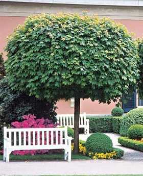 Acer platanoides Globosum Demi Tige 8 10 * Tronc 150 cm Pot P28