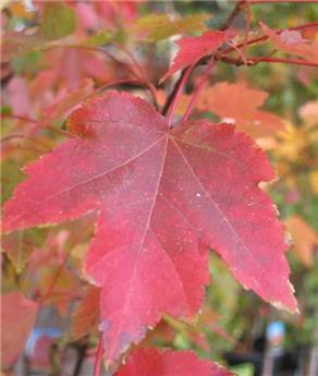 Acer rubrum October Glory Haute Tige 20 22 Motte ** Belle charpente **