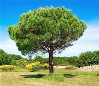 Pinus pinea Pin parasol Haute Tige 10 12 Pot C35/50