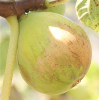 Ficus carica Gentil Bianco Buisson Pot C5.5  **Autofertile - Résistant au froid**