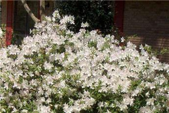 Azalea japonica Encore® Ivory Pot C4