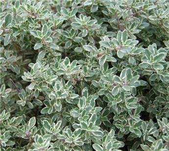 Thymus citriodorus Silver Queen - THYM CITRON ARGENTE P18