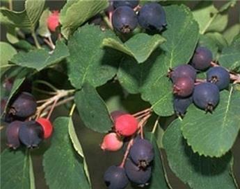 Amelanchier alnifolia Saskatoon Berry 80 100 cm Pot C12