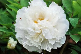 Paeonia suffruticosa Bai Xue Gong Zhu C6 ** Pivoine arbustive **