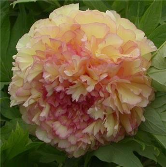 Paeonia suffruticosa Jin Ge C6 ** Pivoine arbustive **