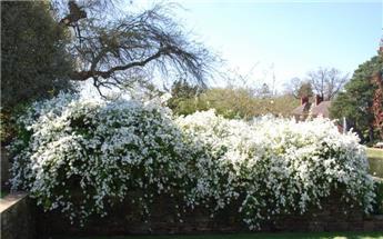 Exochorda macrantha The Bride 100 125 cm Pot C12