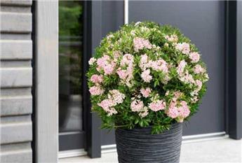 RHODODENDRON migrantum Bloombux ® Pot P10.5