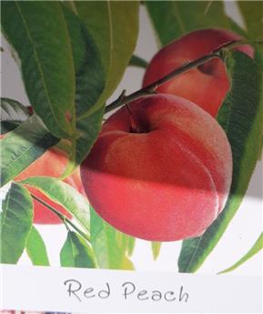 Pecher Red Peach Buisson Pot P18 ** Pêcher nain **