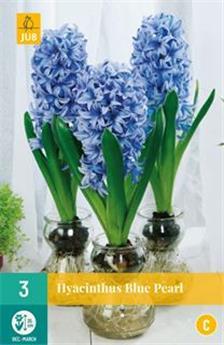 Hyacinthe Blue Pearl * 3 pc cal.18/19 ** Pour culture intérieure **