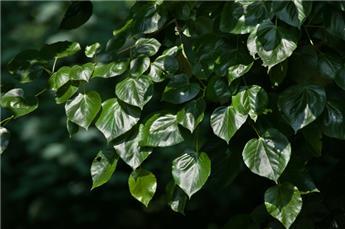 Tilia europaea Euchlora 200 250 Pot C15